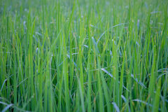 Plant of rice wallpaper Royalty Free Stock Images