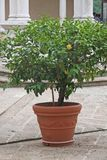 Plant with ripe lemon in the middle of the cloister near Stock Images