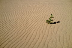 Plant in rippled sand. Lone plant growing in windblown sand Stock Image