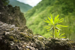 Plant on Rock with Huge Mountains. On Background royalty free stock image