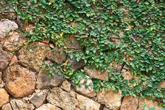 Plant on the rock wall Royalty Free Stock Photography