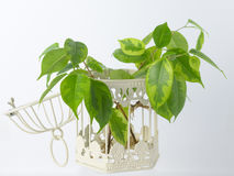 The plant with roots is in glass jar, vase . On a white background. Royalty Free Stock Photo