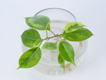 The plant with roots is in glass jar, vase . On a white background. Royalty Free Stock Photos