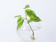 The plant with roots is in glass jar, vase . On a white background. Stock Photo
