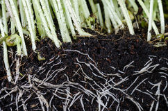 Plant and roots. In soil Royalty Free Stock Photography