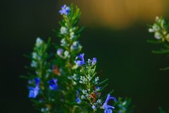 Cries in flower of rosemary in the Mediterranean stain of the Italian peninsula. Plant of rosemary bloomed vegetable typical of the Mediterranean stain Royalty Free Stock Photography
