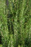 Plant rosemary flavor to food Stock Photography