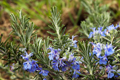 A plant of rosemary in flowers Royalty Free Stock Photo