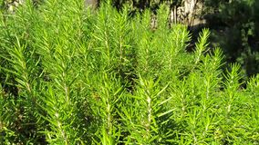 plant of rosemary in the garden stock footage