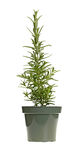 Plant of rosemary in a green plastic pot. Small, upright plant of the herb rosemary (Rosmarinus officinalis) in a green plastic pot stock photo