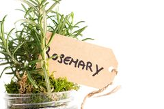 Plant of rosemary on a white background. Organic plant of rosemary in a pot on a white background royalty free stock photos