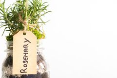 Plant of rosemary on a white background. Organic plant of rosemary in a pot on a white background stock photos