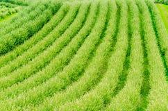 Plant rows, Toskana Stock Photos