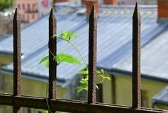 A plant on a rusted fence Stock Photography