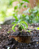 Plant in rusty cans on ground and rain Stock Photos