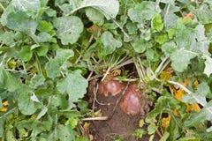 Plant of rutabaga Stock Photos