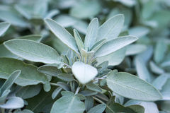 Plant of sage, aromatic herb Stock Photo