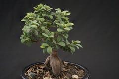 Plant, Sageretia Theezans, Tree, Houseplant stock photography