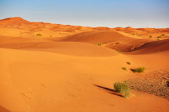 Plant in Sahara desert Royalty Free Stock Images
