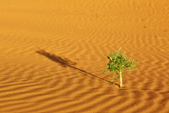 Plant in Sahara desert Stock Images