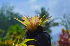 Plant in Samoa Pacific. Plant growing on pole in Samoa in the Pacific Ocean Royalty Free Stock Photo