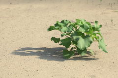 Plant in the sand Stock Images