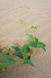 Plant on sand at 3000 Bok in thailand Stock Image