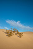Plant in Sand Dunes Royalty Free Stock Images