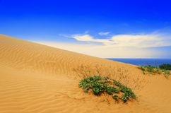 Plant on Sand Dunes. Stock Image