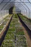Plant saplings in a greenhouse. Plant saplings beeing cultivated in a greenhouse Royalty Free Stock Image