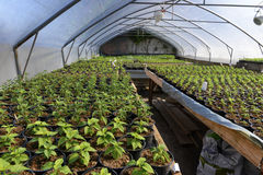 Plant saplings in a greenhouse. Lots of small plant saplings cultivated in a greenhouse Stock Photography