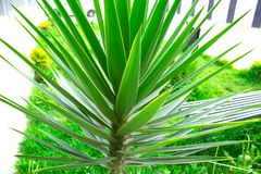 Plant saw palmetto close-up. Green palm tree exotic. royalty free stock photo