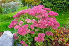 Plant Sedum prominent lat. Sedum spectabile. Decorative garden plant Sedum prominent lat. Sedum spectabile. Autumn flowering in Siberia Royalty Free Stock Photography