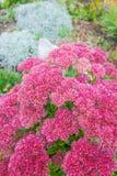 Plant Sedum prominent lat. Sedum spectabile. Decorative garden plant Sedum prominent lat. Sedum spectabile. Autumn flowering in Siberia Royalty Free Stock Photo
