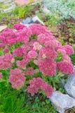 Plant Sedum prominent lat. Sedum spectabile. Decorative garden plant Sedum prominent lat. Sedum spectabile. Autumn flowering in Siberia Stock Images