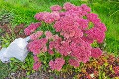 Plant Sedum prominent lat. Sedum spectabile. Decorative garden plant Sedum prominent lat. Sedum spectabile. Autumn flowering in Siberia Stock Photos