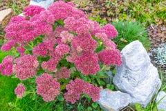 Plant Sedum prominent lat. Sedum spectabile. Decorative garden plant Sedum prominent lat. Sedum spectabile. Autumn flowering in Siberia Stock Image