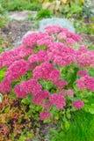 Plant Sedum prominent lat. Sedum spectabile. Decorative garden plant Sedum prominent lat. Sedum spectabile. Autumn flowering in Siberia Royalty Free Stock Photos