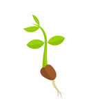Plant seedling germination Royalty Free Stock Photos
