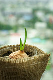 Plant seedling grow with new green leaf Royalty Free Stock Image