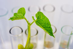 Plant seedlings growing inside of test tubes. Royalty Free Stock Photos