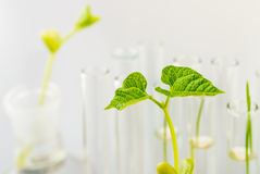 Plant seedlings growing inside of test tubes Royalty Free Stock Photo