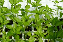 Plant seedlings, padron peppers - pimiento padron.  Royalty Free Stock Photo
