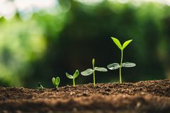 Plant Seeds Planting trees growth,The seeds are germinating on good quality soils in nature.  royalty free stock photos