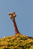 Plant Sempervivum tectorum Stock Image
