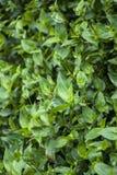 The plant Setcreasea Stock Images