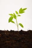 Plant shoot of tomato sapling on white background Royalty Free Stock Image