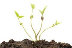 Plant shoots Stock Image