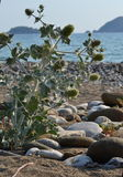 The plant on the shore of the sea. Prickly plant on the Mediterranean coast in Turkey Royalty Free Stock Images