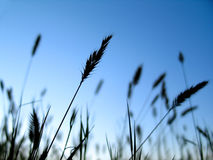 Plant Silhouette 1. Grassy plants silhouetted in front of vibrant blue sky Stock Images
